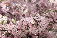 Hav av rosa blommor Royaltyfria Foton