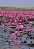 Hav av rosa lotusblomma, Nong Han, Udon Thani, Thailand (som är osedd i thailändskt Royaltyfri Bild