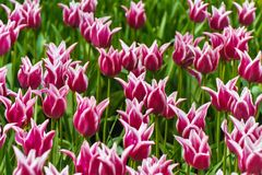 Hav av tulpan från Keukenhof trädgårdar royaltyfri bild