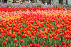 Hav av tulpan i nationalpark Royaltyfria Bilder