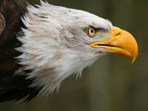 Hav Eagle Royaltyfria Foton