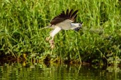 Hav Eagle Arkivfoton