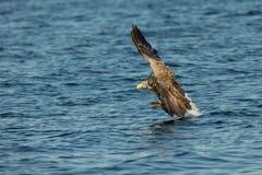 Hav Eagle Hunting Arkivfoto