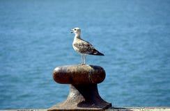 hav för 2 fiskmås fotografering för bildbyråer