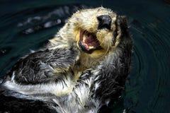hav för enhydralutrisutter royaltyfria bilder