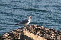 Hav-fiskmås Royaltyfri Fotografi