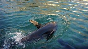 Hav Lion Dives In The Sea arkivfilmer