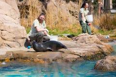 Hav Lion Feeding Fotografering för Bildbyråer