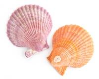 Hav Shell på vit Royaltyfri Fotografi
