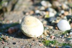 Hav-skal på en strand som omges av andra skal Arkivfoton