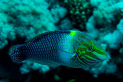 Hav under vattennaturen, med reafkorall och fiskar Havsflora och faunor Arkivfoton
