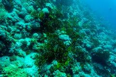 Hav under vattennaturen, med reafkorall och fiskar Havsflora och faunor Royaltyfria Foton