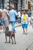 Havaba, Cuba - em julho de 2014: Criança pequena assustado com um cão do chinesse Fotos de Stock Royalty Free