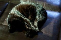 Havana Brown Cat Curled Up Sleeping Stock Images
