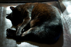 Havana Brown Cat Curled Up Sleeping In Sunshine Royalty Free Stock Photos