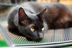 Havana Brown Cat, die auf Stuhl stillsteht Stockbilder