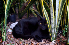 Havana brown cat in garden Royalty Free Stock Image