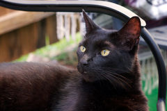 Havana Brown cat looking away Royalty Free Stock Images