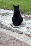 Havana brown cat sitting outside Stock Image
