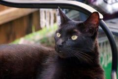 Havana Brown katt som bort ser Royaltyfria Bilder