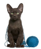 Havana Brown kitten with ball of blue yarn Royalty Free Stock Images