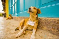 HAVANA, CUBA - DECEMBER 2, 2013: Straathonden stock afbeelding