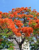 Havana, Cuba: Royal Poinciana Tree. Flamboy�n, (Delonix regia) with orange blossoms against clear blue sky stock photography