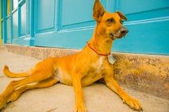HAVANA, KUBA - 2. DEZEMBER 2013: Straßenhunde Lizenzfreies Stockbild