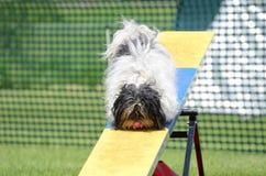 Havanes alla prova di agilità del cane Fotografia Stock