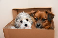 Dog friends cuddling in a moving box. Havanese and mongrel dog friends sitting close to each other in a moving box stock image