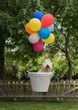 Havanese与五颜六色的气球的狗飞行 免版税库存图片