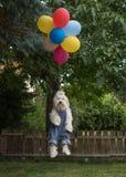 Havanese与五颜六色的气球的狗飞行 免版税库存照片