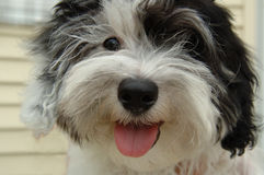 havanese小狗 免版税库存图片