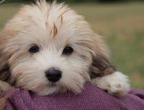 havanese小狗 免版税库存照片
