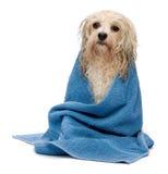 havanese浴奶油色的狗弄湿了 库存图片