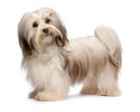 havanese美丽的巧克力的狗 免版税库存照片