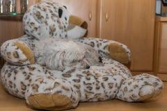 Havanese śpi na faszerującym zwierzęciu Zdjęcie Stock