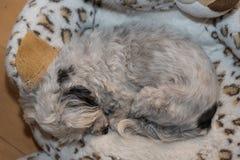 Havanese śpi na faszerującym zwierzęciu Obrazy Royalty Free