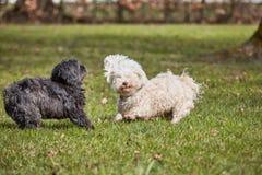 2 havanese собаки играя в парке Стоковая Фотография