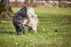 2 havanese собаки играя в парке Стоковое Фото