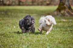 2 havanese собаки играя в парке Стоковые Фото