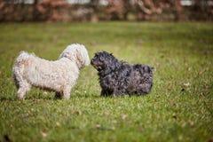 2 havanese собаки играя в парке Стоковые Изображения RF
