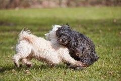2 havanese собаки играя в парке Стоковая Фотография RF
