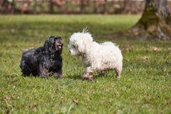 2 havanese собаки играя в парке Стоковые Фотографии RF