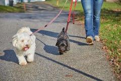 2 havanese собаки играя в forrest в осени Стоковые Изображения