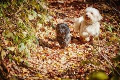 2 havanese собаки играя в forrest в осени Стоковая Фотография RF