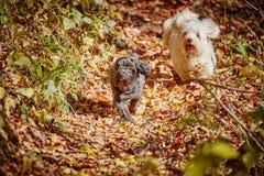 2 havanese собаки играя в forrest в осени Стоковое Фото