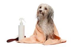 浴havanese巧克力的狗弄湿了 免版税库存图片
