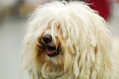 A Havanese Royalty Free Stock Image
