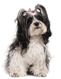 Havanese, 3 years old, sitting in front of white Stock Photos